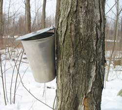 a bucket is used to collect sap from a maple tree