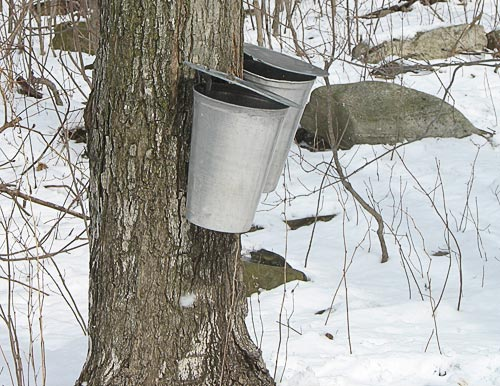 sugar maples are tapped and pails collect maple sap